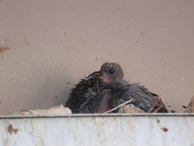 pigeon baby.jpg