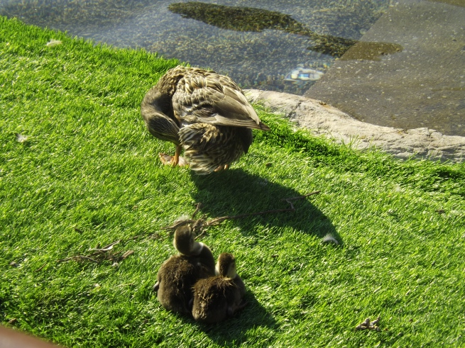 duck and babies.JPG