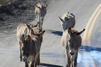 Donkeys in Oatman, Photo by Royal Hopper